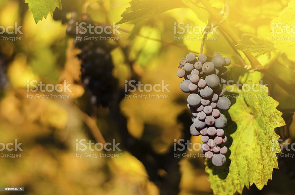 Ripe grapes in fall royalty-free stock photo