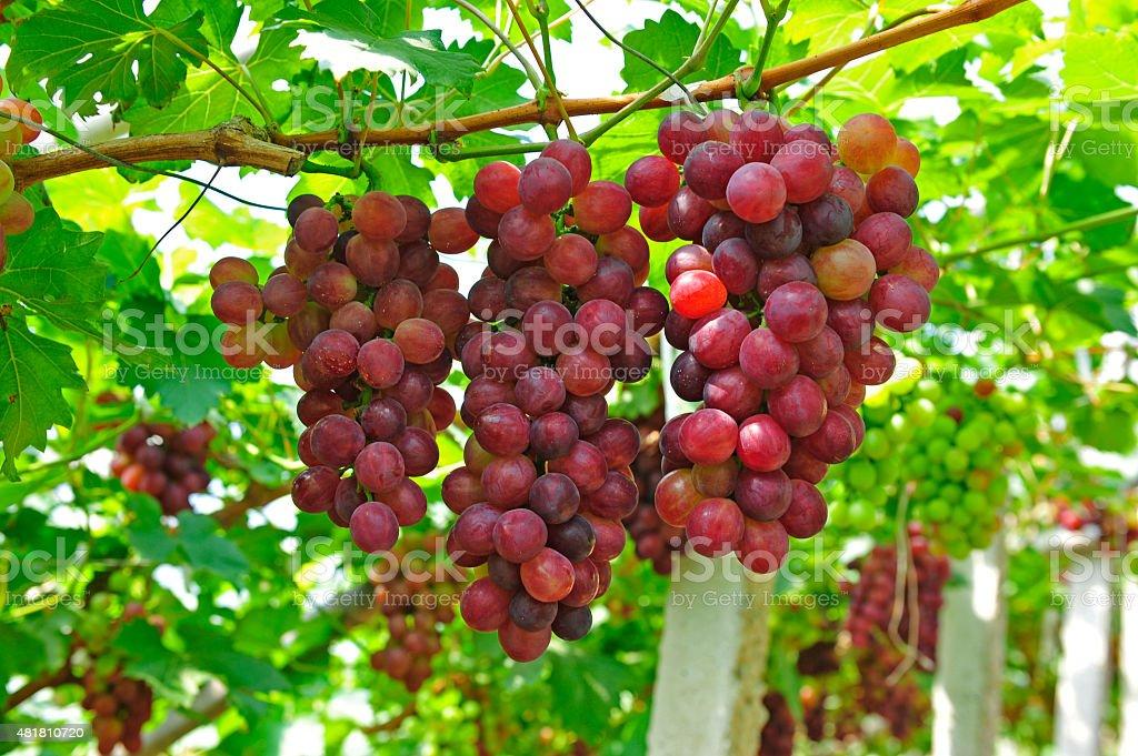 Ripe grapes in his vineyard stock photo