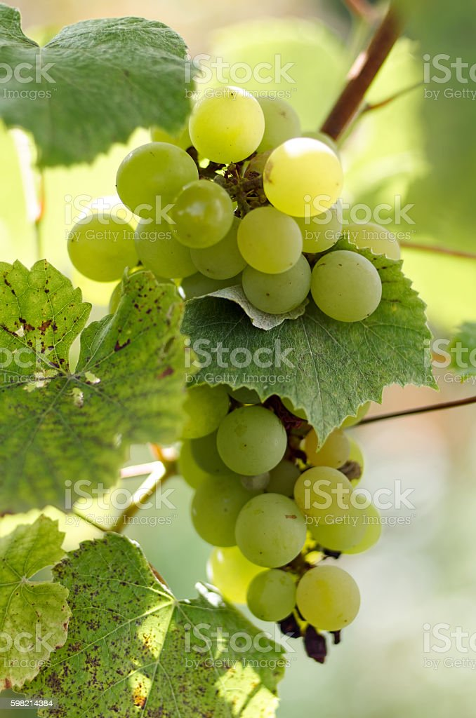 Ripe Grapes in Sunny Vine Yard.Grapes growing on the vine. stock photo
