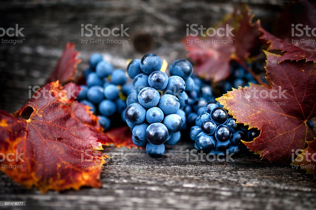 Ripe grapes on autumn harvest at vineyard with leaves stock photo