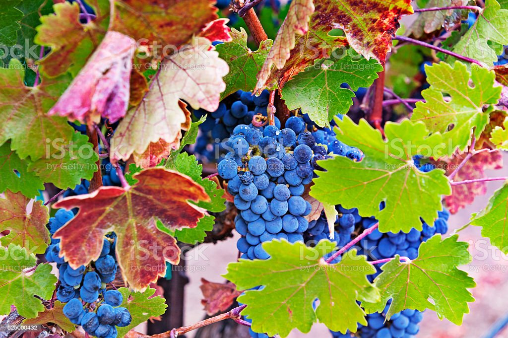 Ripe Grapes on the Vine in the Napa Valley stock photo