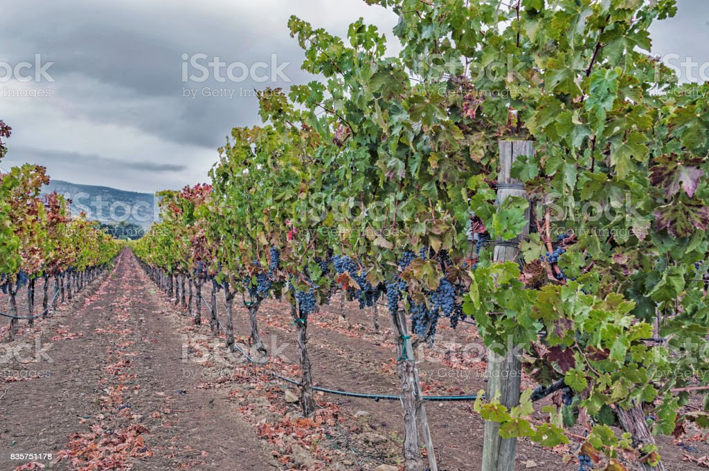 Ripe Grapes on the Vine Napa Valley California stock photo