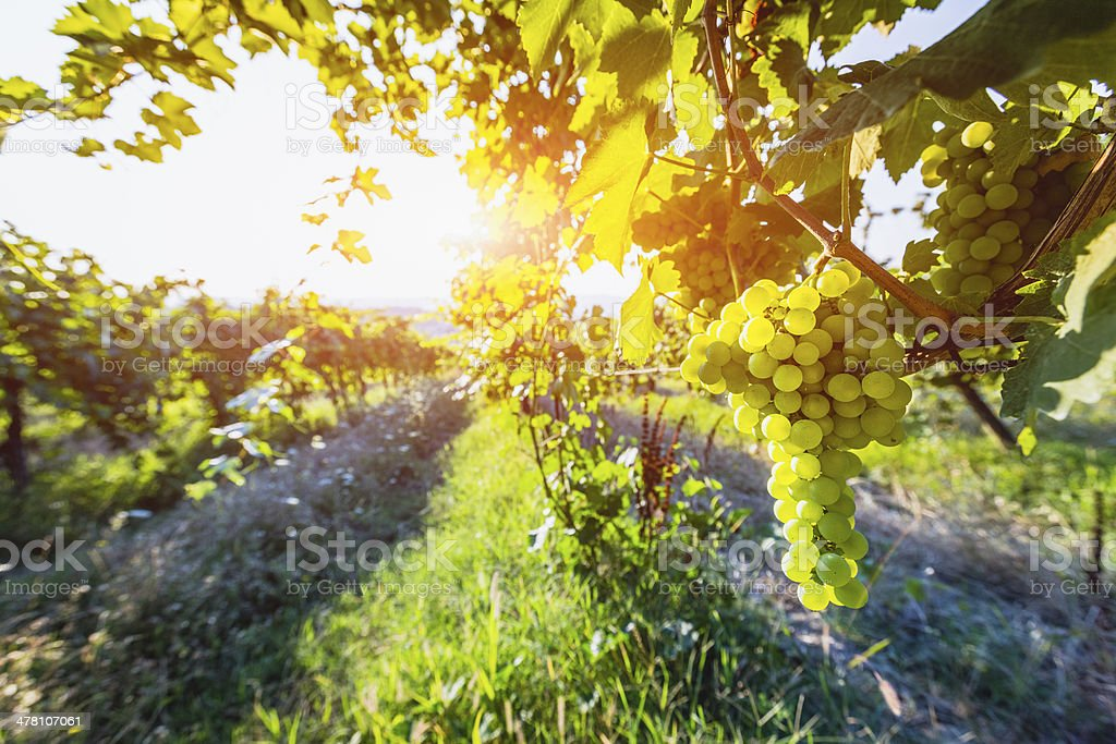 Ripe grapes on the vine royalty-free stock photo