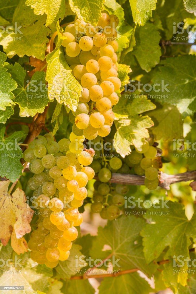 ripe grapes on vine in vineyard stock photo