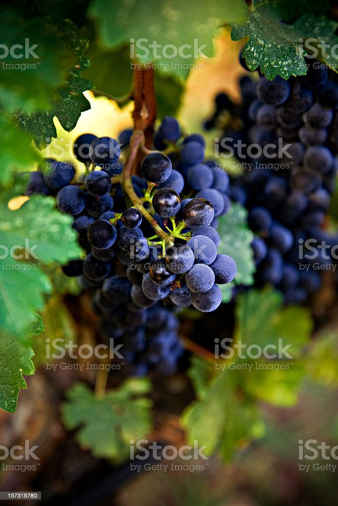 ripe grapes stock photo