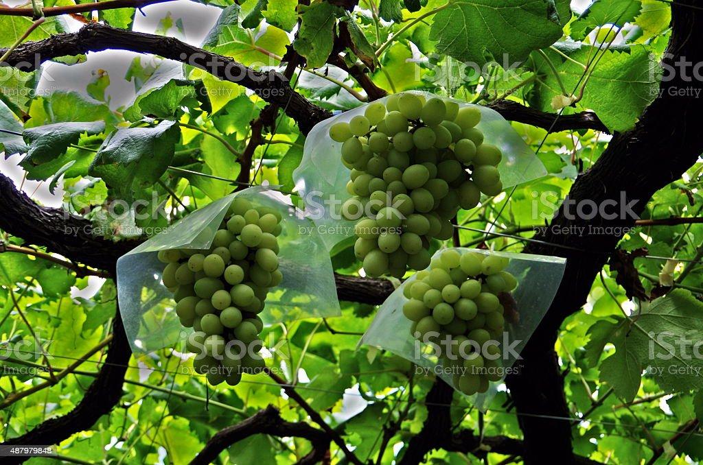 Maduras uvas foto de stock libre de derechos