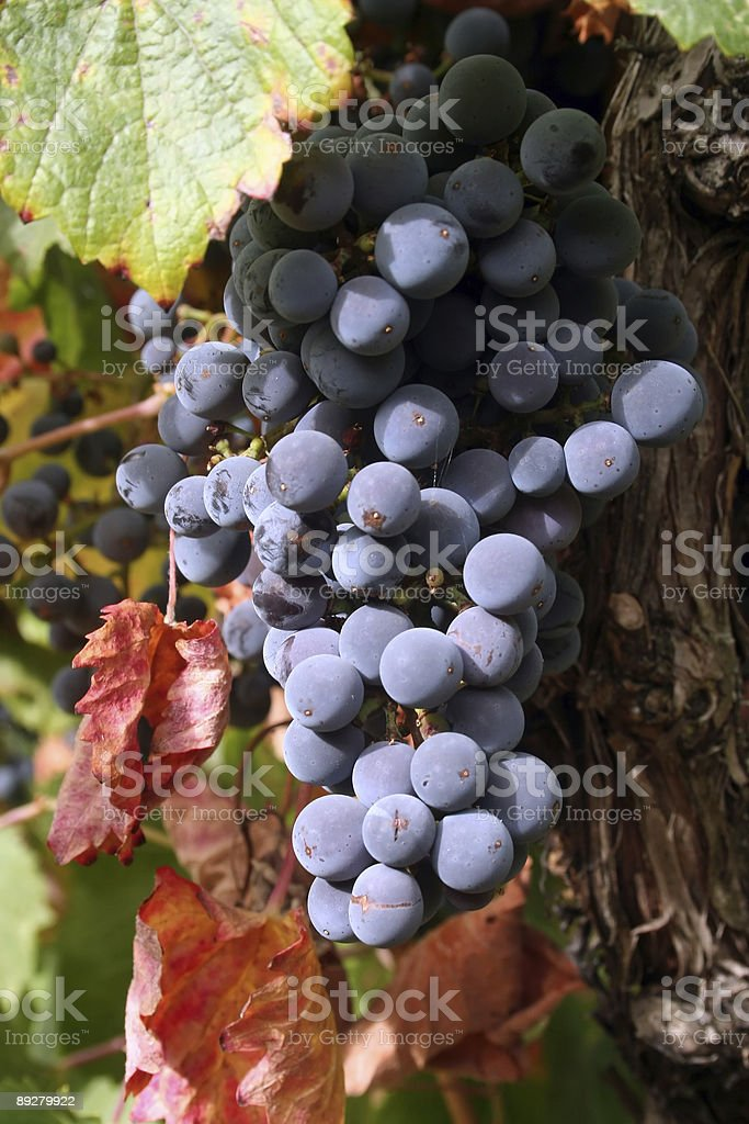 Ripe Grapes royalty-free stock photo