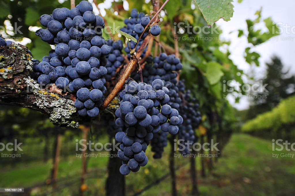 Ripe Grapes ready for Harvest stock photo