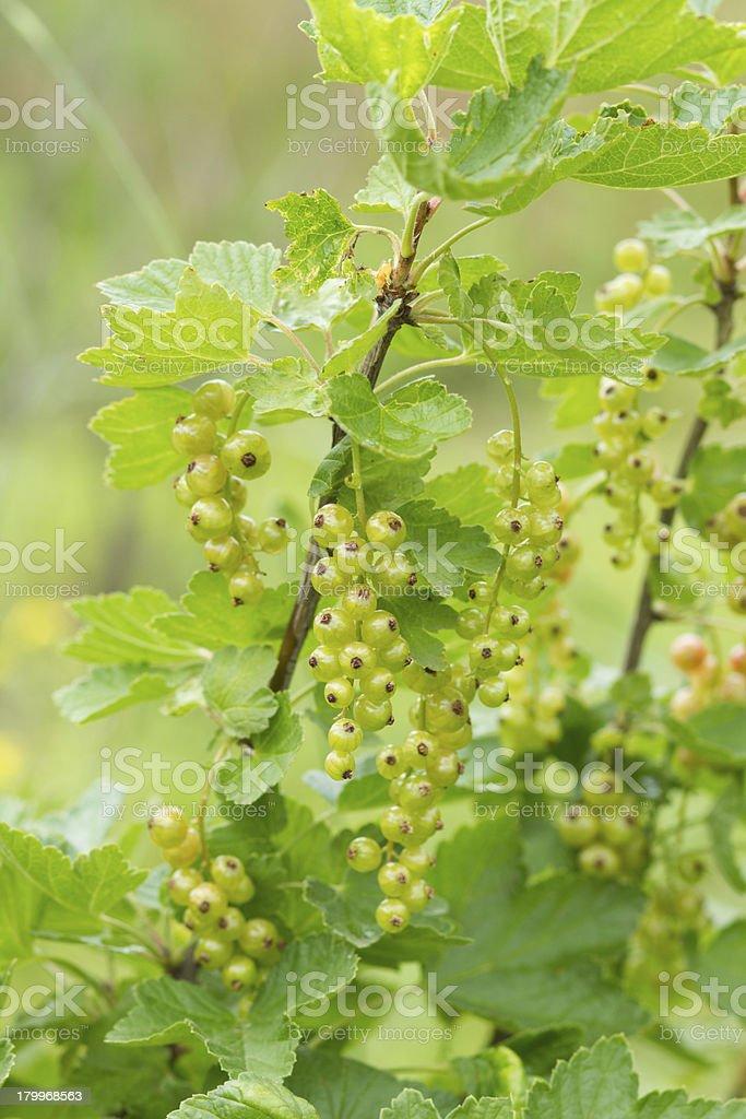 ripe green currants royalty-free stock photo