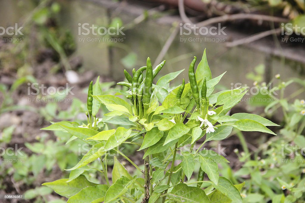 ripe green hot chili peppers on a tree stock photo