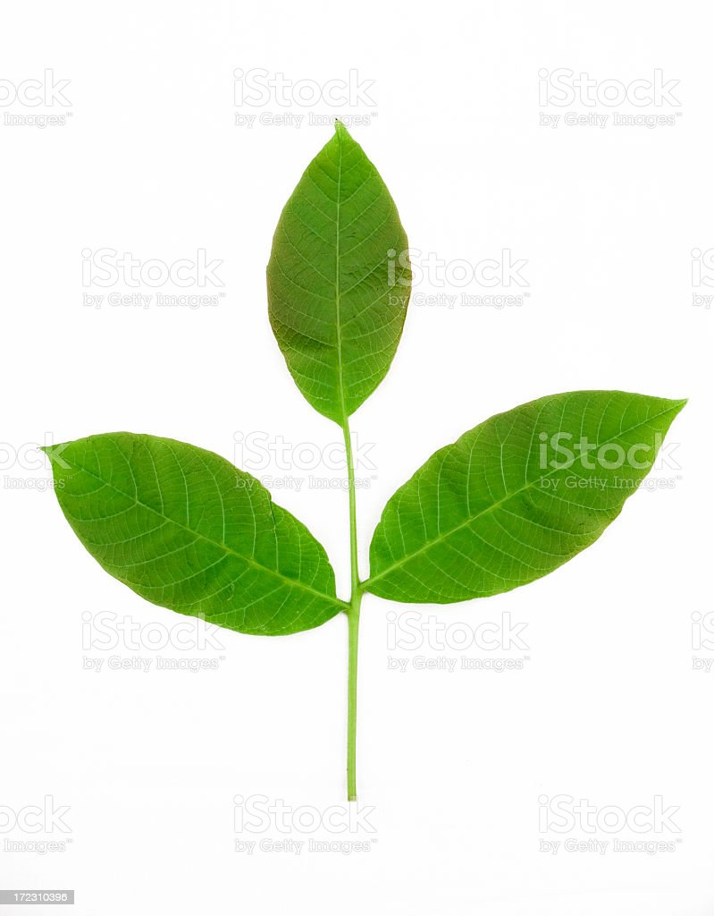Ripe green twig with three leaves royalty-free stock photo