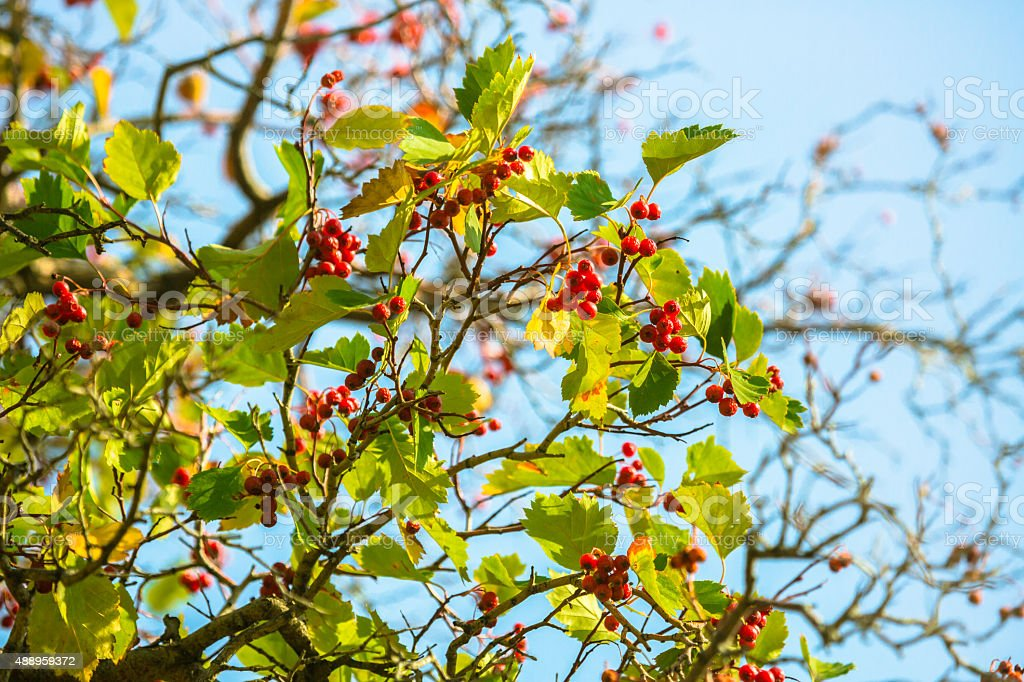 Ripe Hawthorn Berries stock photo