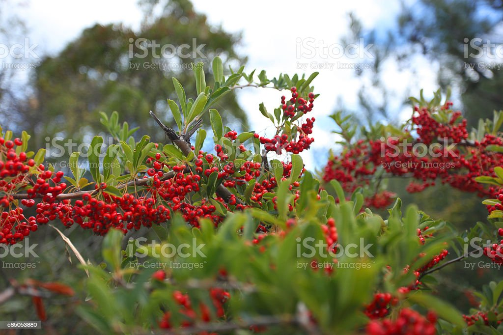 Ripe hawthorn, red and claret stock photo