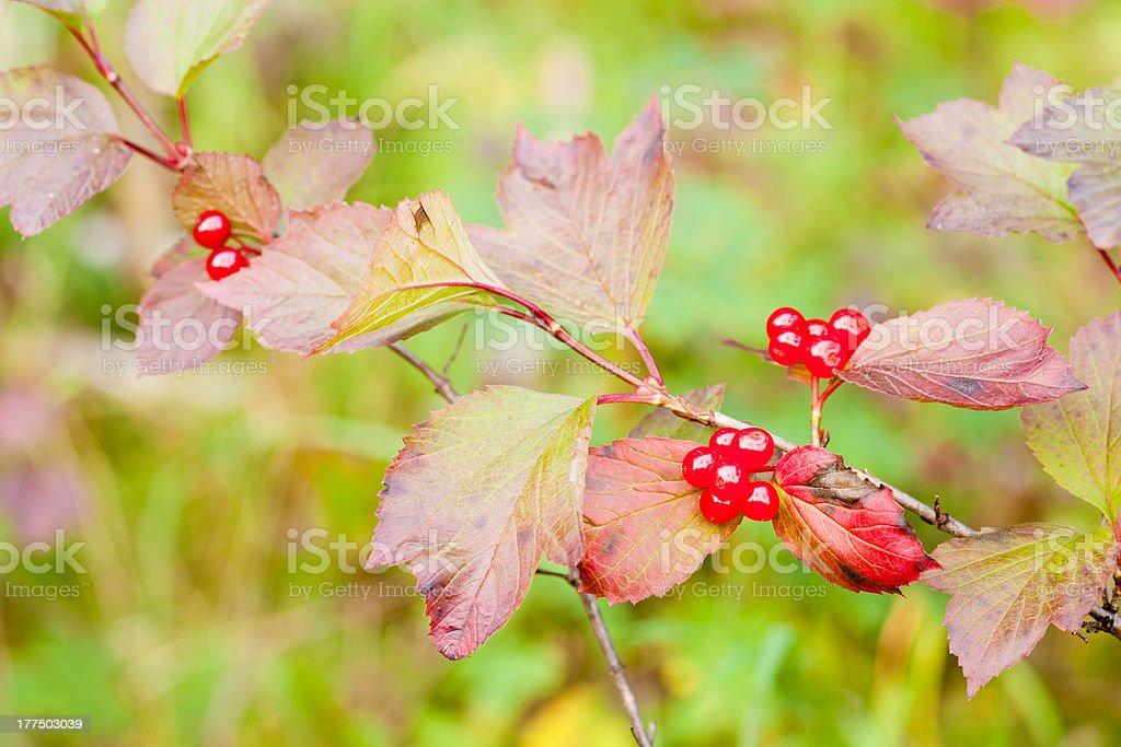 Ripe Highbush Cranberriies Viburnum edule on shrub royalty-free stock photo