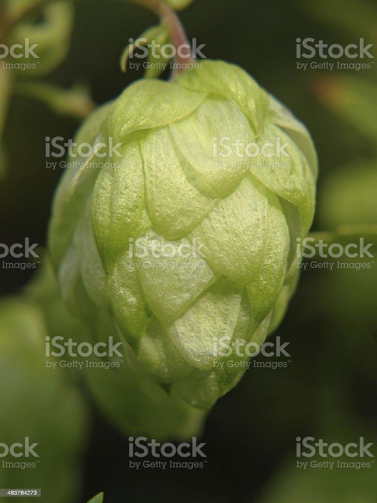 Ripe hop cone. royalty-free stock photo