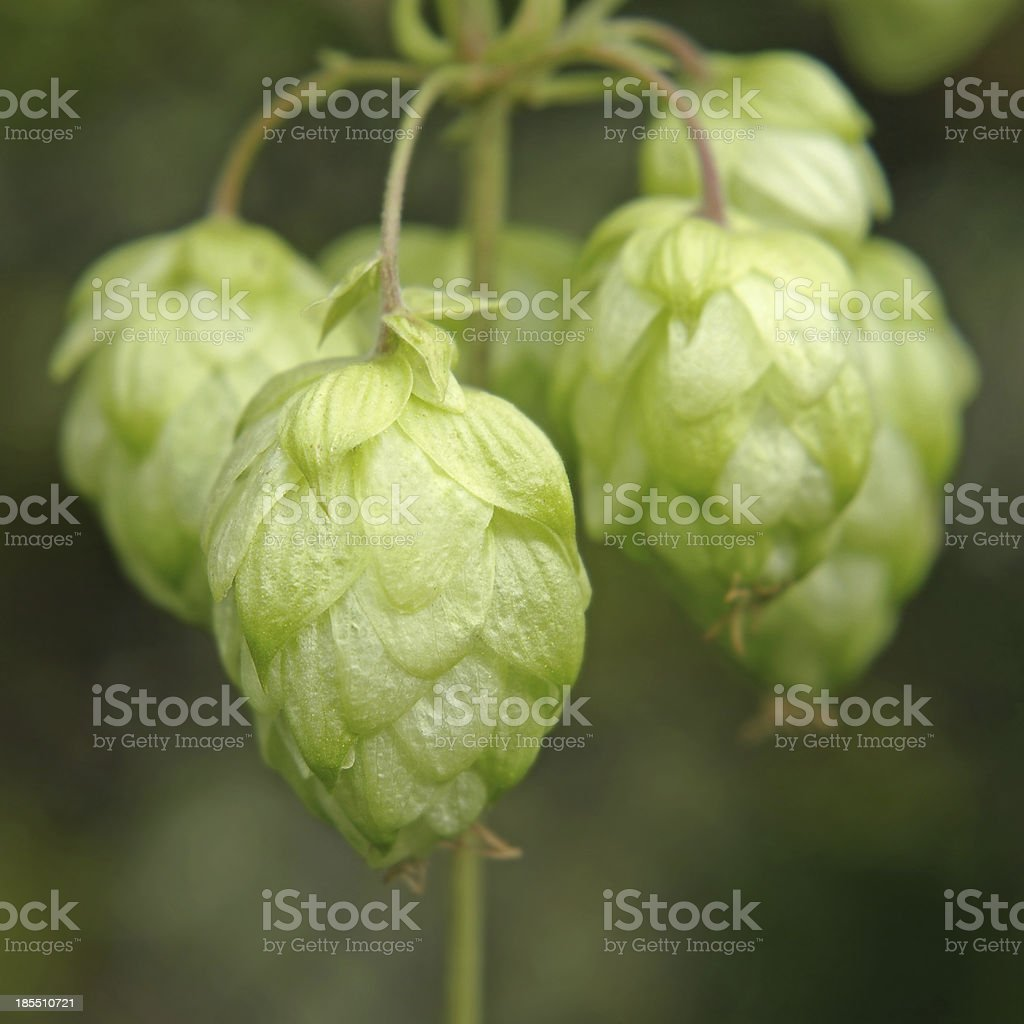 Ripe hop cones branch. royalty-free stock photo