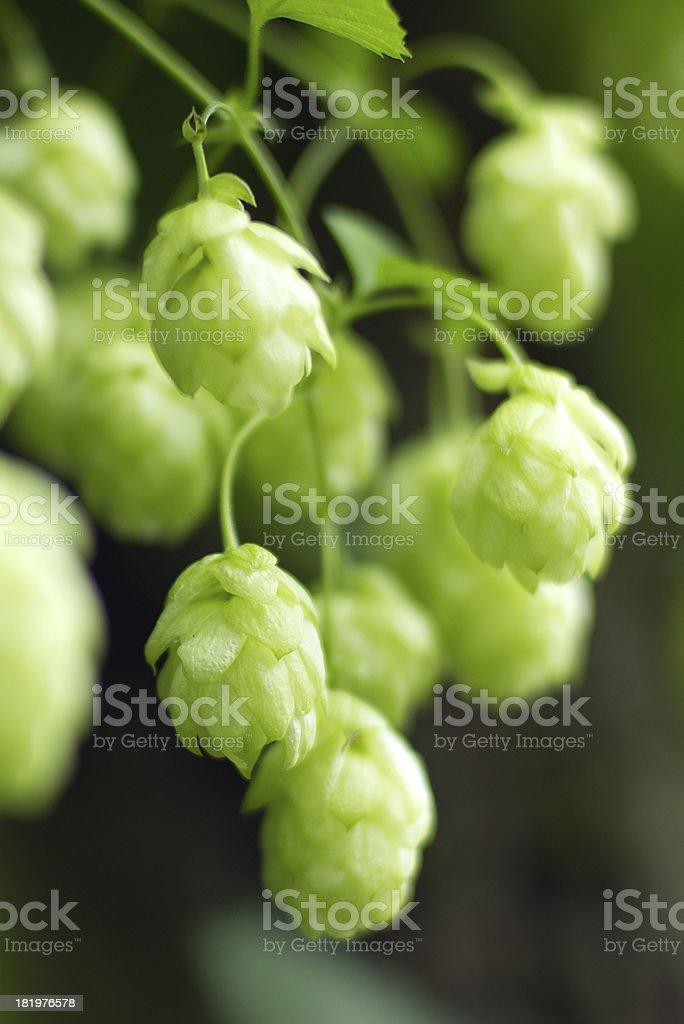 ripe hops royalty-free stock photo