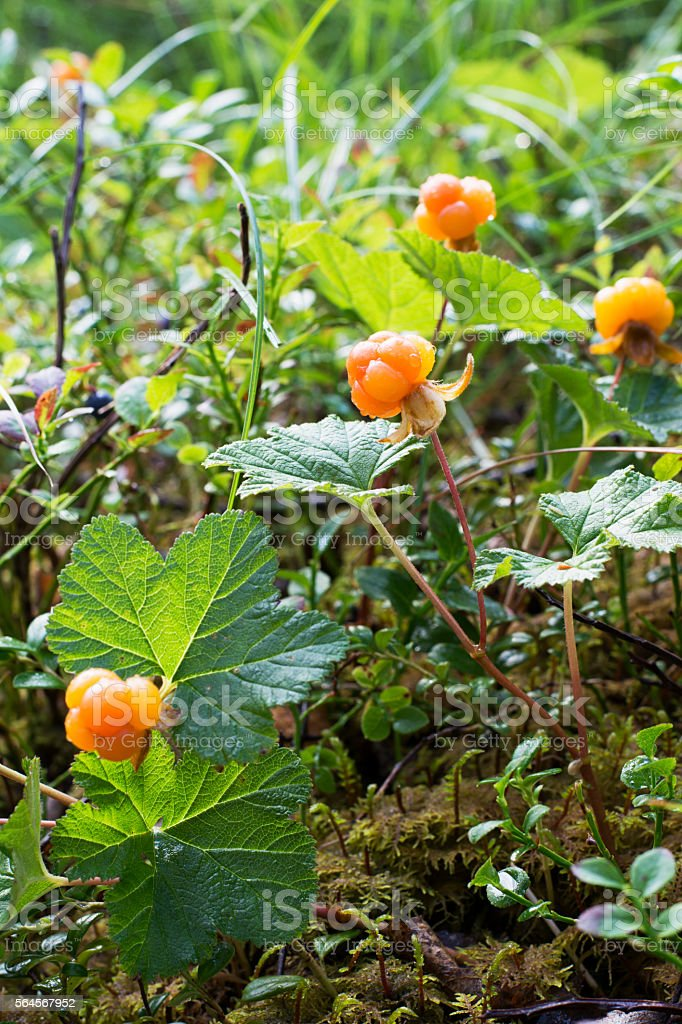 Ripe juicy cloudberries in the northern forest in a swamp stock photo