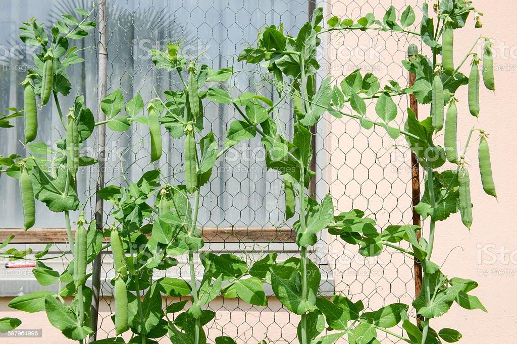 Ripe juicy green peas growing stock photo