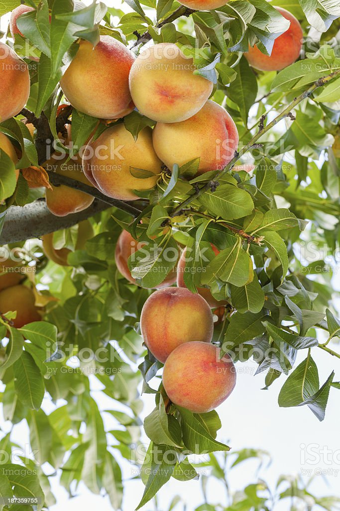 Ripe Juicy Red Peaches royalty-free stock photo