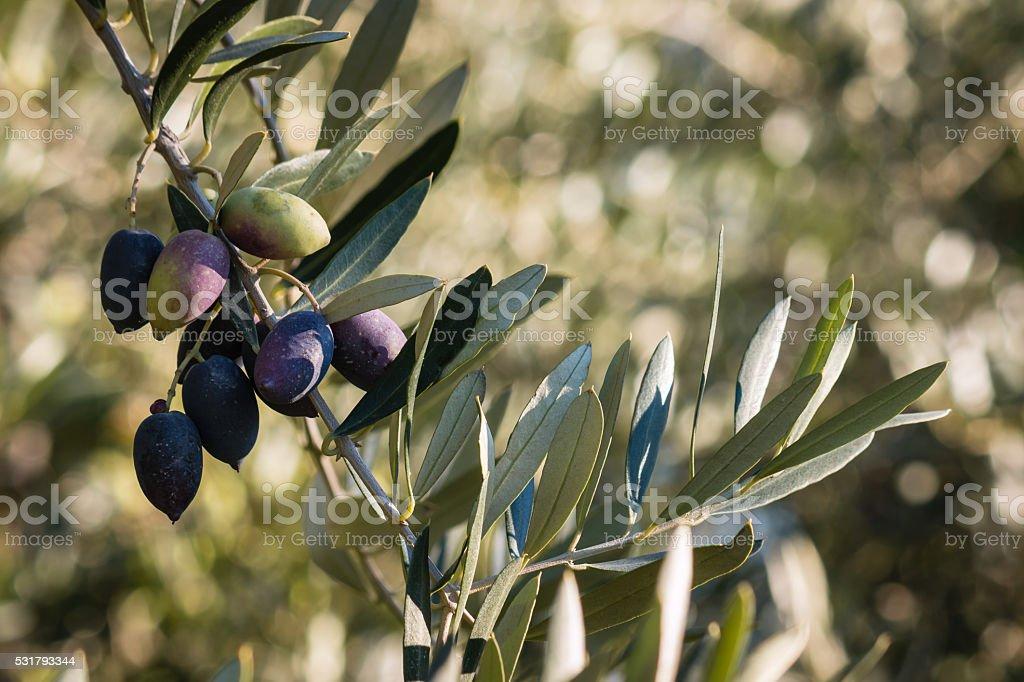 ripe Kalamata olives on olive tree branch stock photo