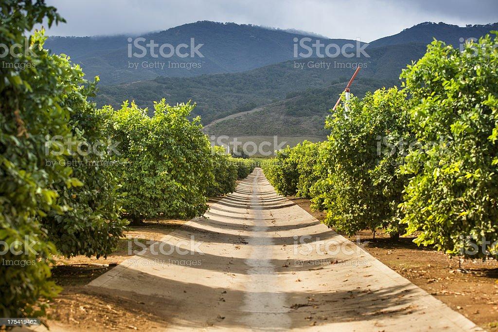 Ripe lemon and lime citrus grove stock photo