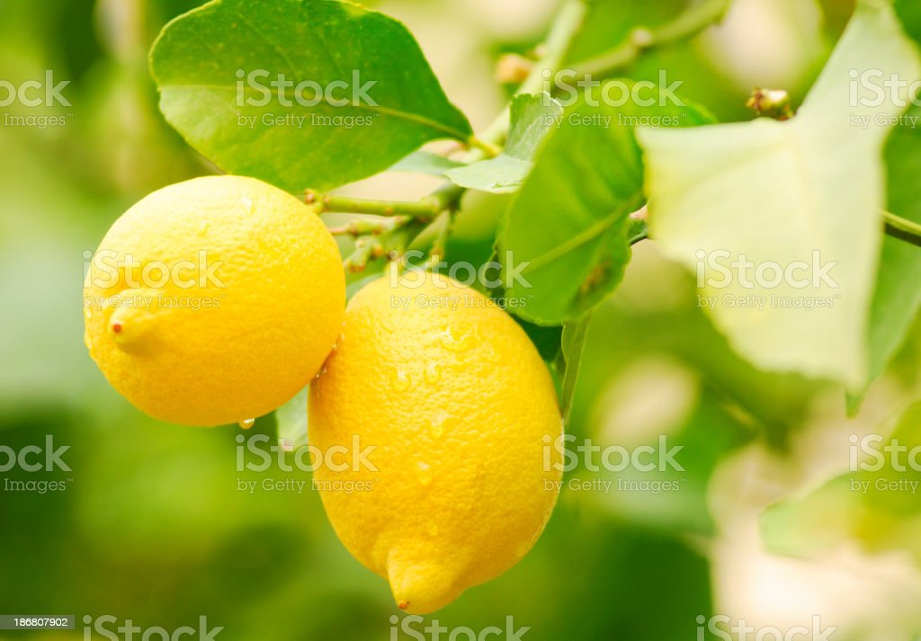 Ripe lemon on the tree royalty-free stock photo