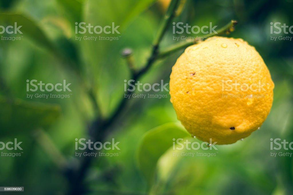 Ripe lemon on the tree stock photo