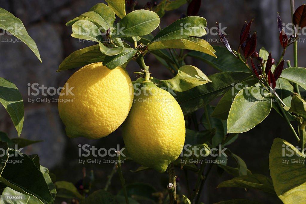 Ripe Lemons On A Tree Branch stock photo