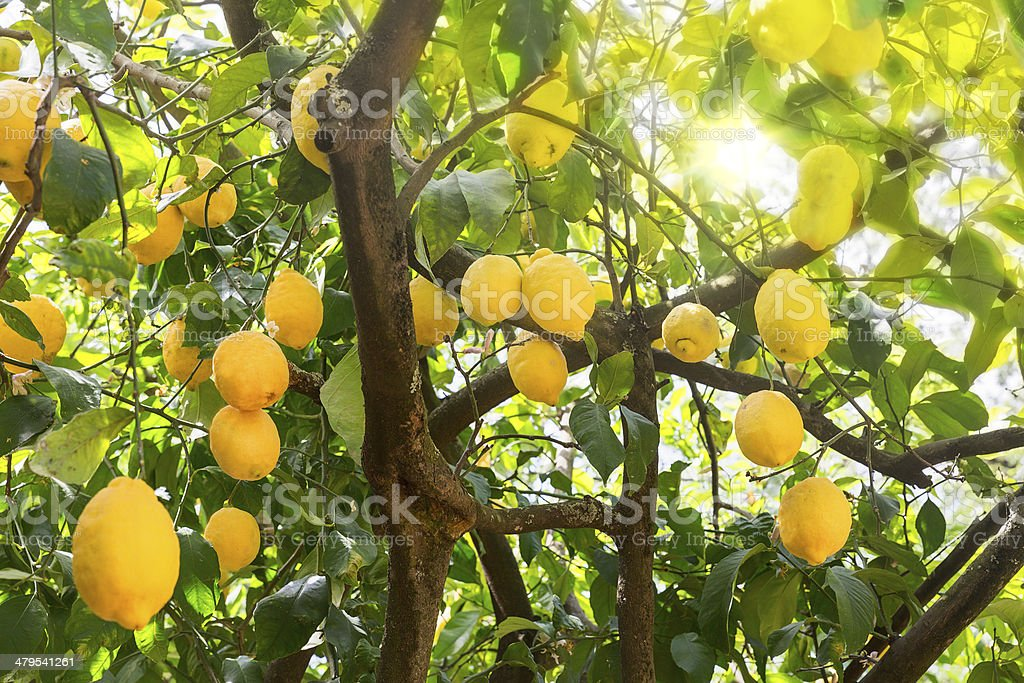 Ripe lemons on a tree with sun rays stock photo