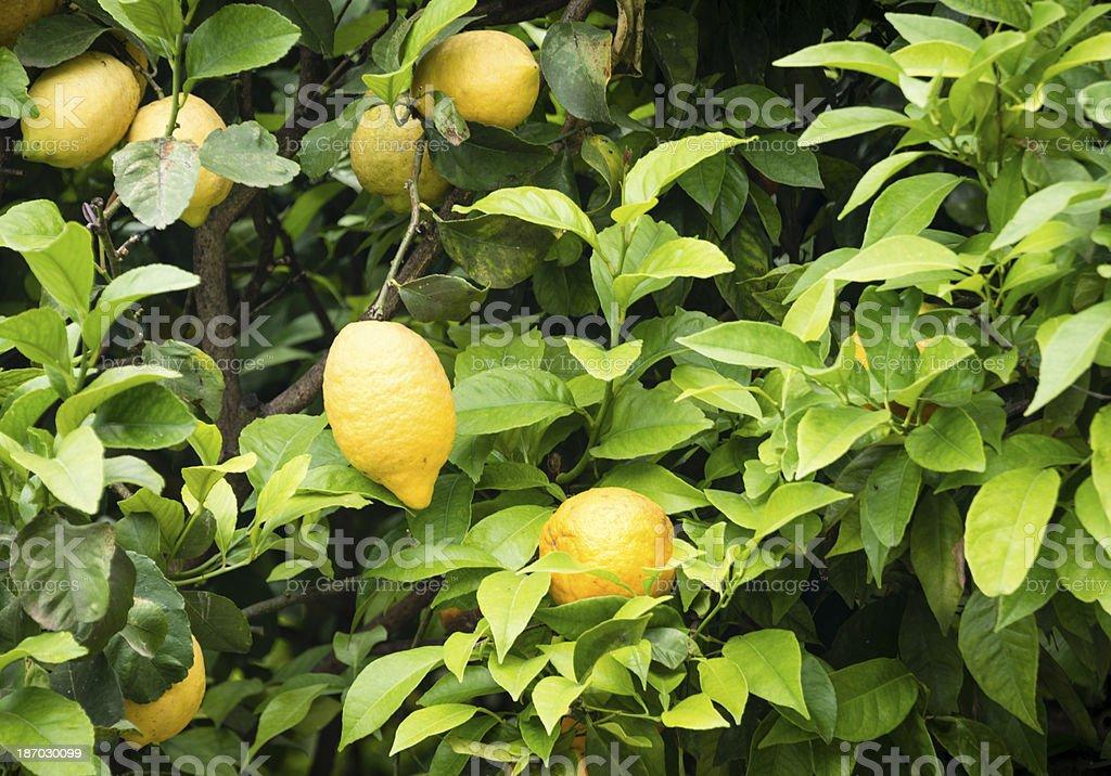 Ripe lemons on the tree. -XXXL royalty-free stock photo
