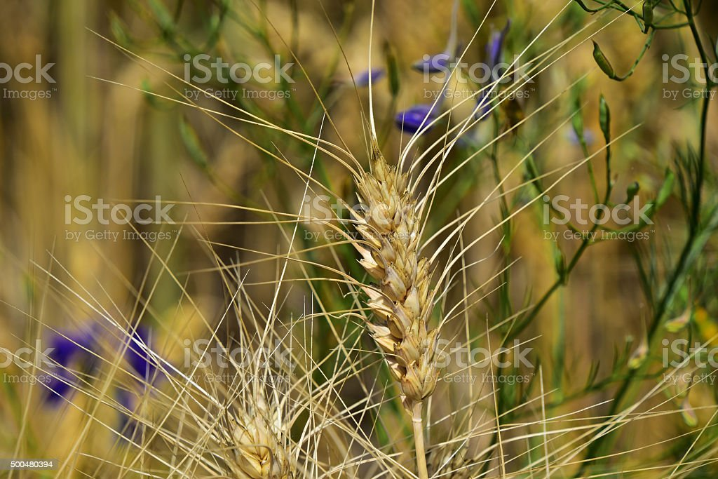 Ripe mature wheat ear head in field close up royalty-free stock photo