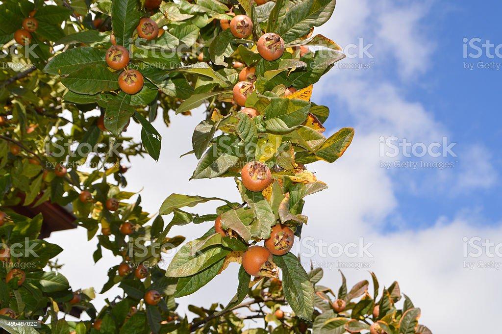 Ripe medlars on green tree stock photo