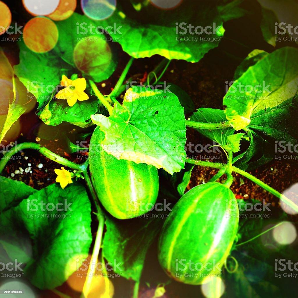 ripe melon crop stock photo