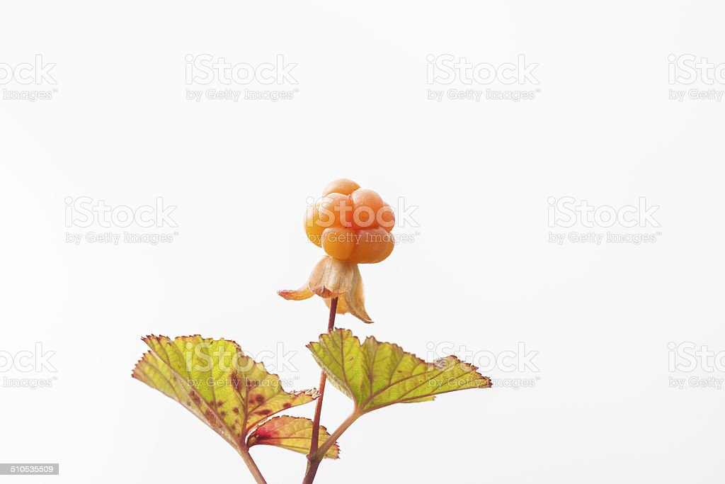 Ripe multe berry in Norwegian mountains in August stock photo