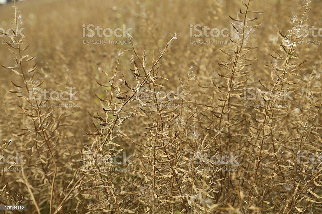 Ripe mustard field stock photo