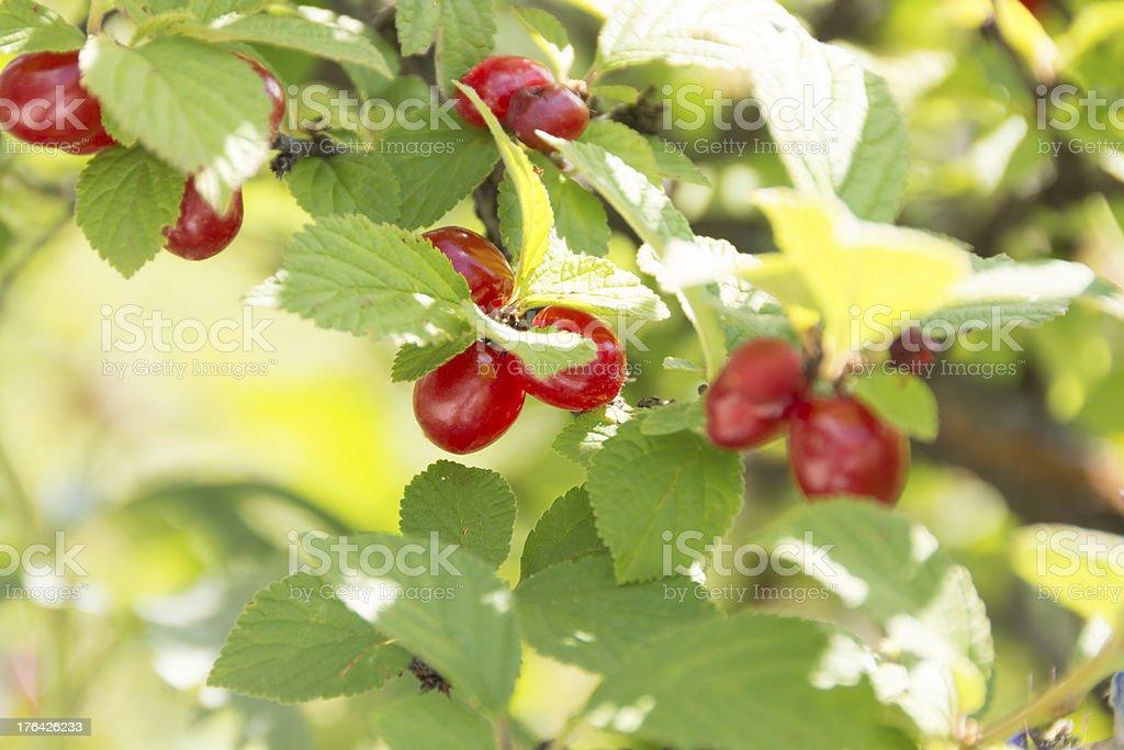 Ripe Nanking Cherries in bright garden. royalty-free stock photo