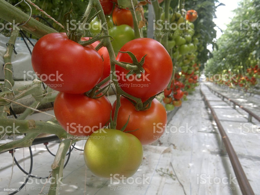 Ripe natural tomatoes growing on a branch in a greenhouse. stock photo