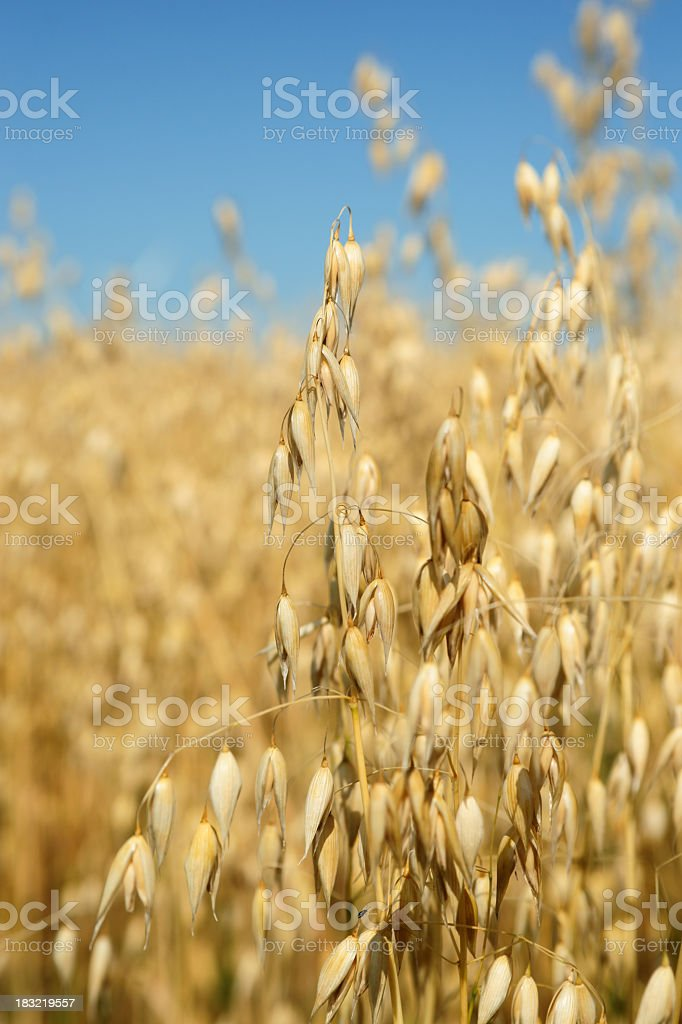 Ripe Oats ready for harvest. stock photo
