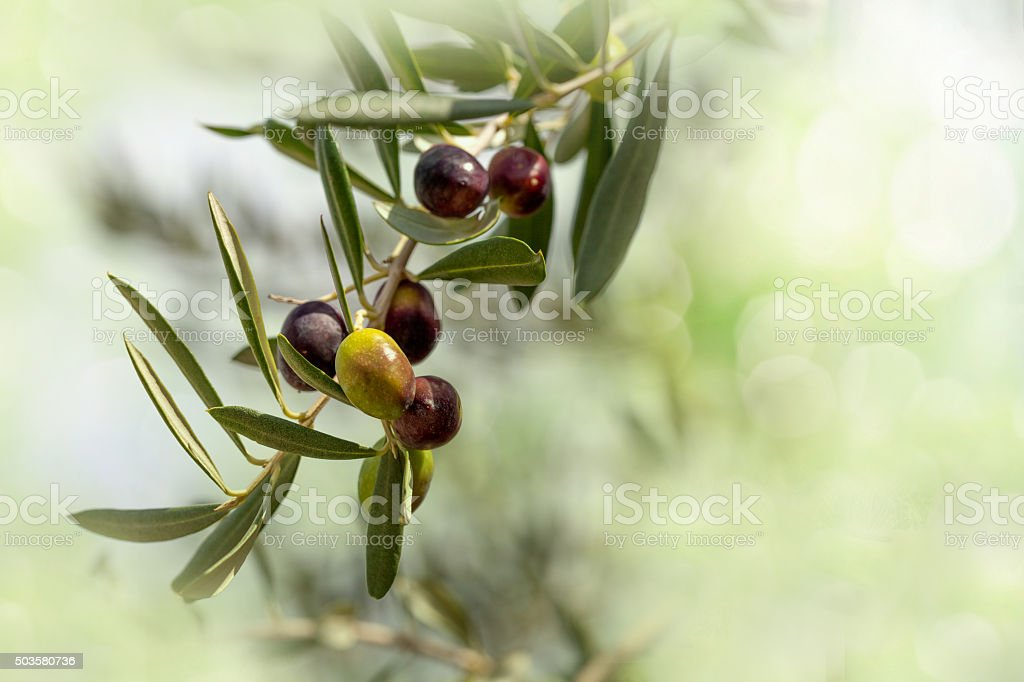 Ripe Olives Branch stock photo