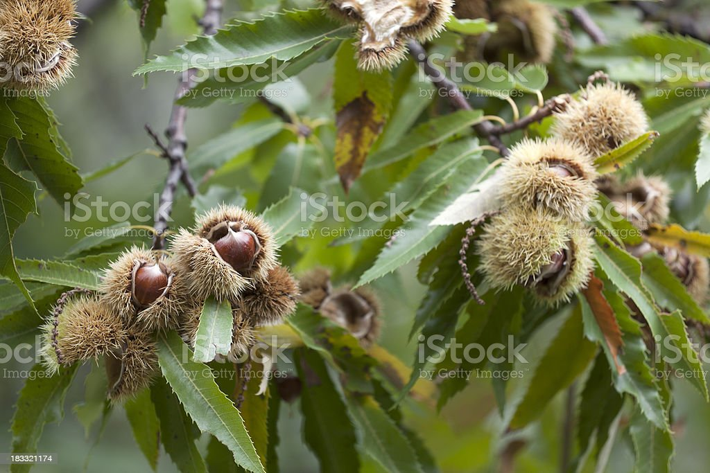 Ripe open chestnut fruit with twig royalty-free stock photo