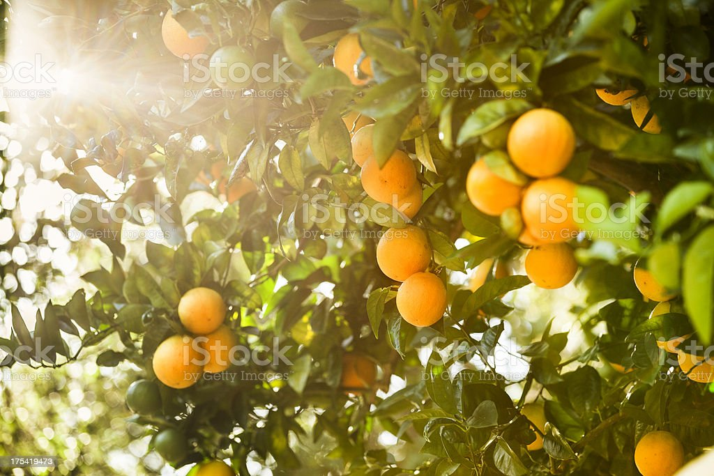 Ripe orange citrus grove stock photo