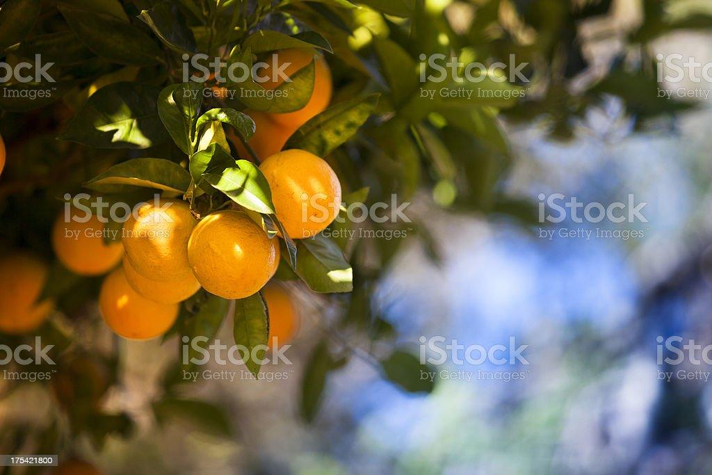 Ripe orange citrus grove royalty-free stock photo