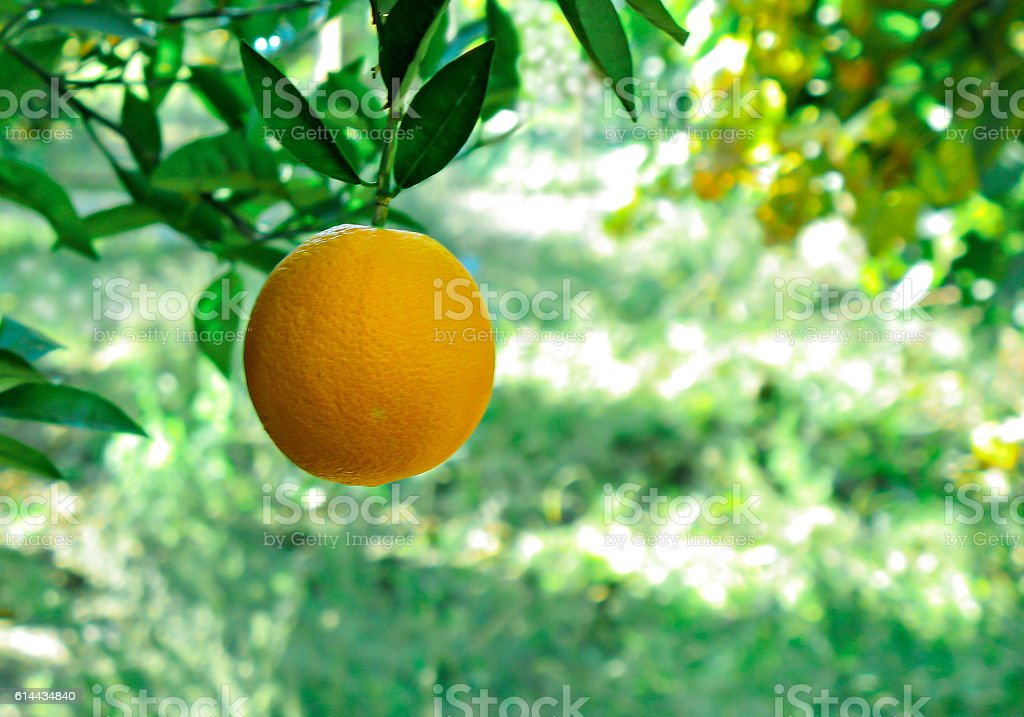 Ripe orange hanging from the tree stock photo