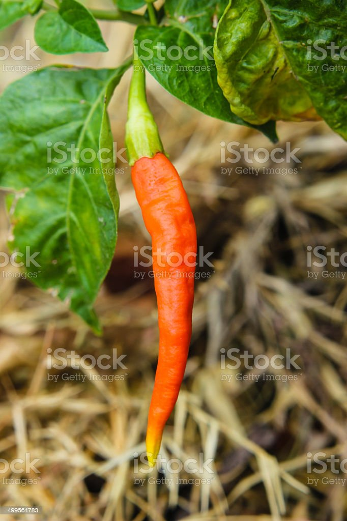 ripe orange hot chili peppers on a tree stock photo