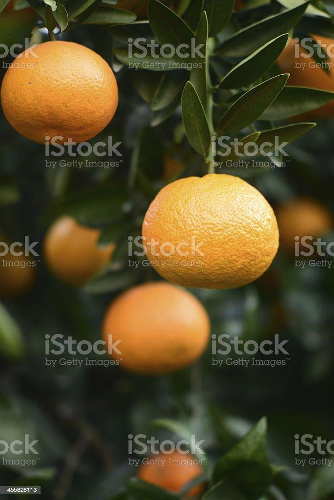 Ripe orange on a tree royalty-free stock photo