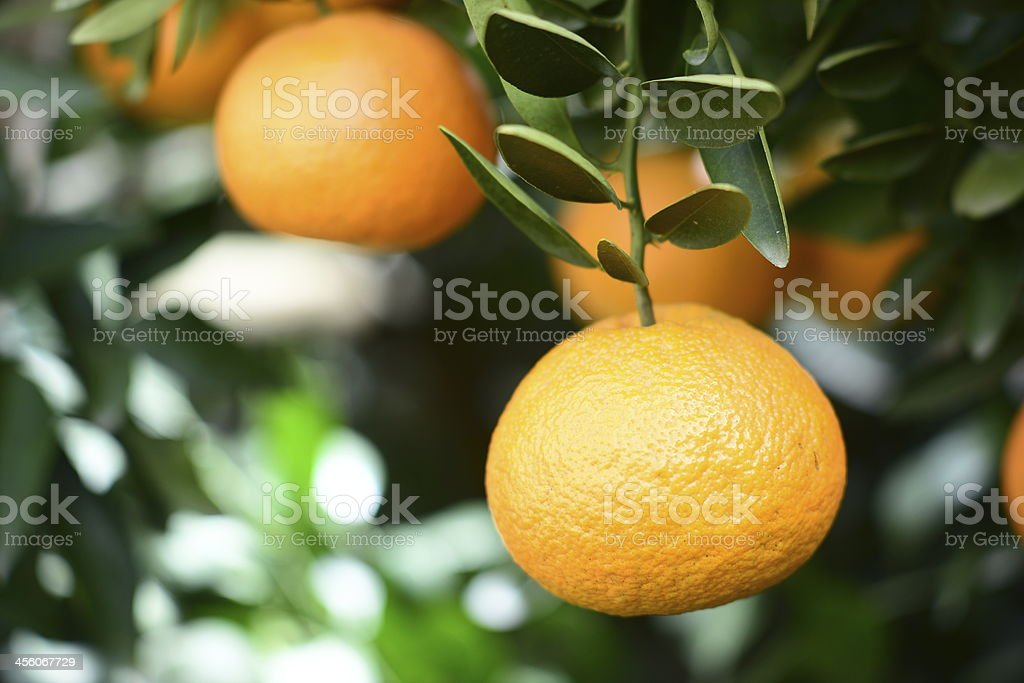 Ripe orange on a tree royalty-free stock photo