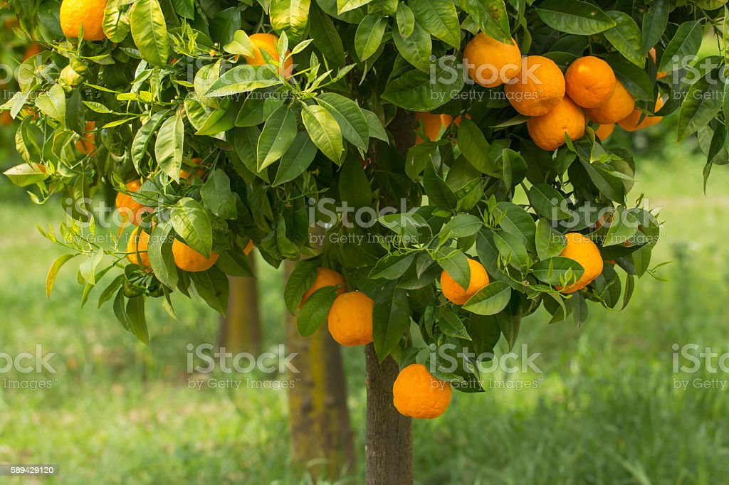 ripe oranges growing on tree stock photo