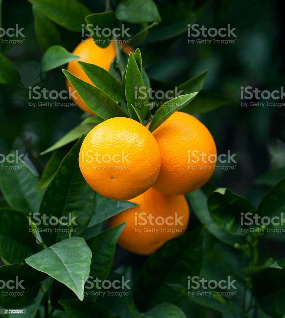 Ripe oranges hanging on a tree stock photo