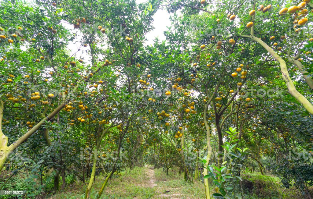 Ripe orchard on the tree with thousands of fresh ripe yellow fruits stock photo